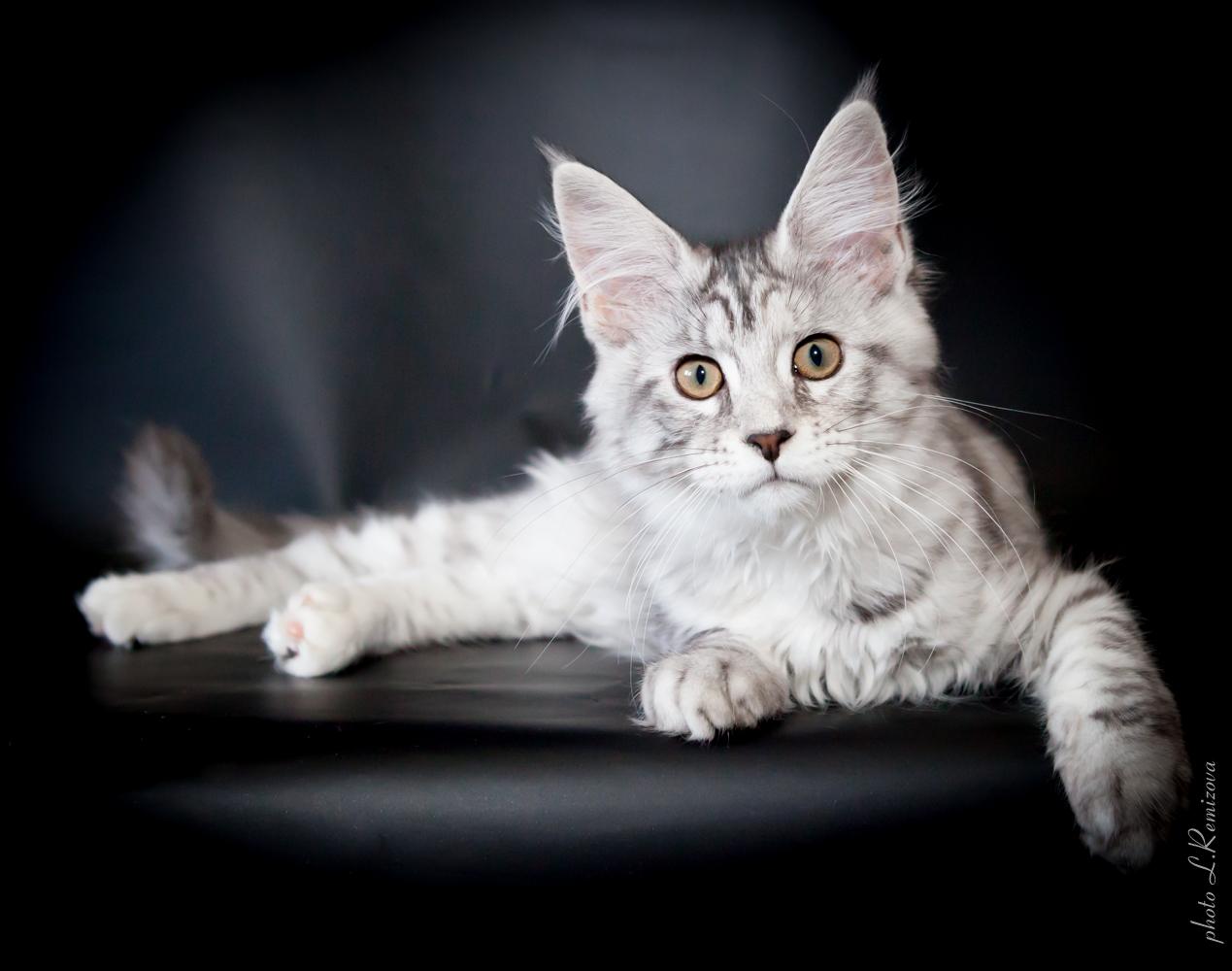 купить кошку мейн-кун