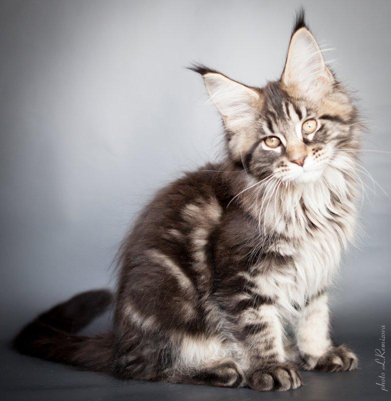 крупный кот мейн-кун