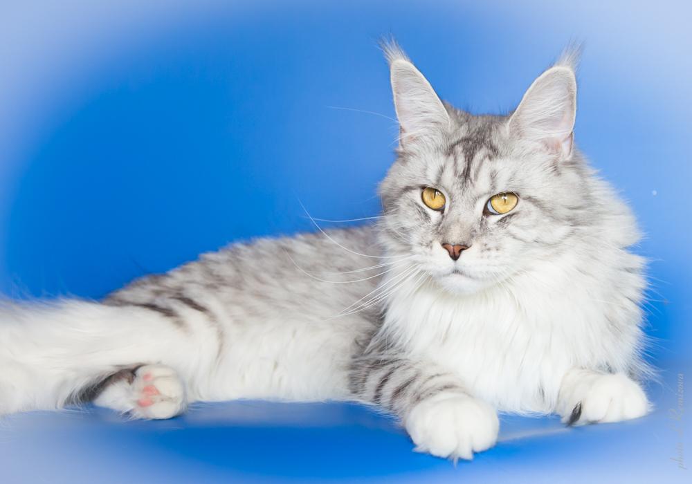 серебряная кошка мейн-кун