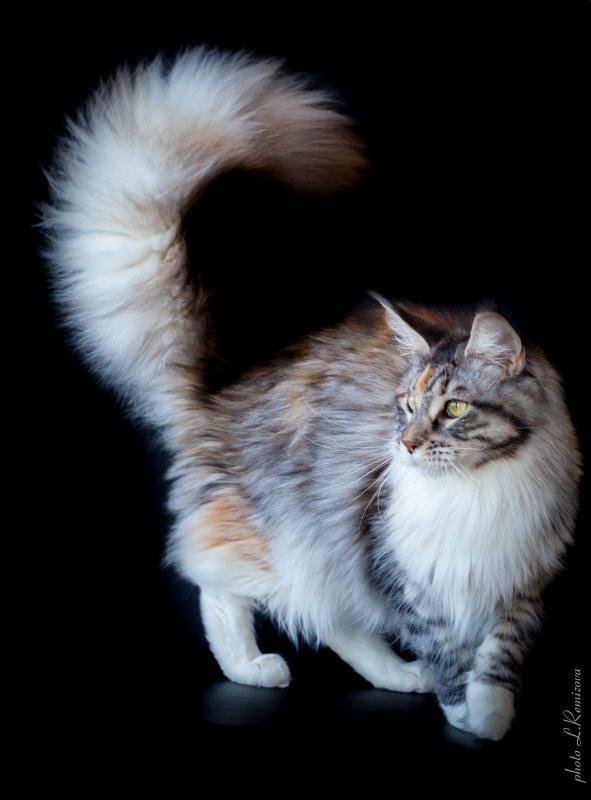 купить кошку мейн-куна