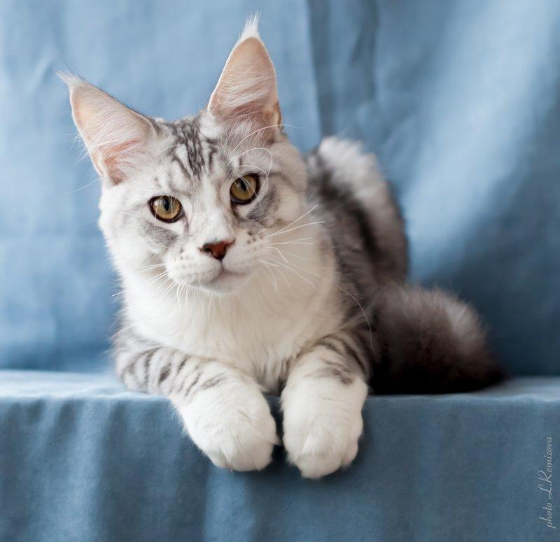 купить кота мей-кун в питомнике