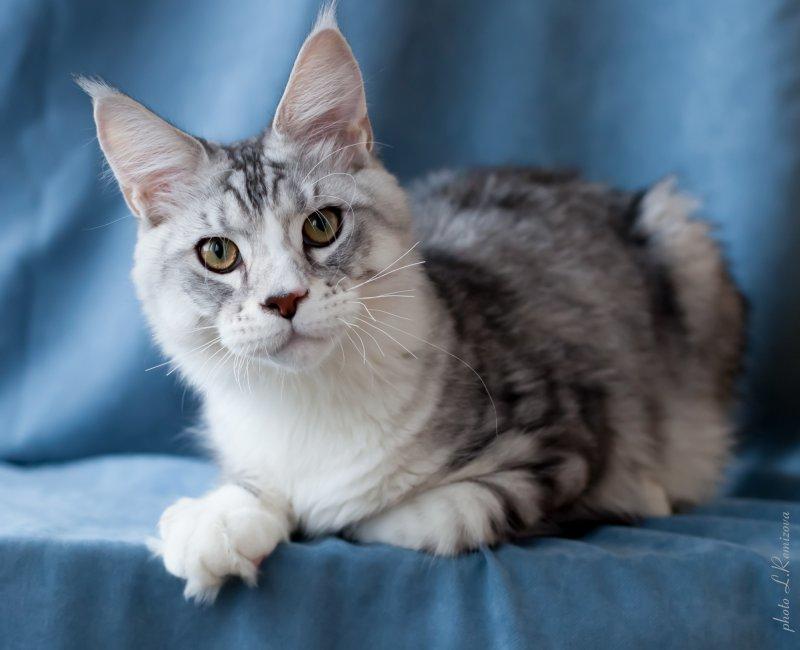 купить кота Мейн-кун в питомнике