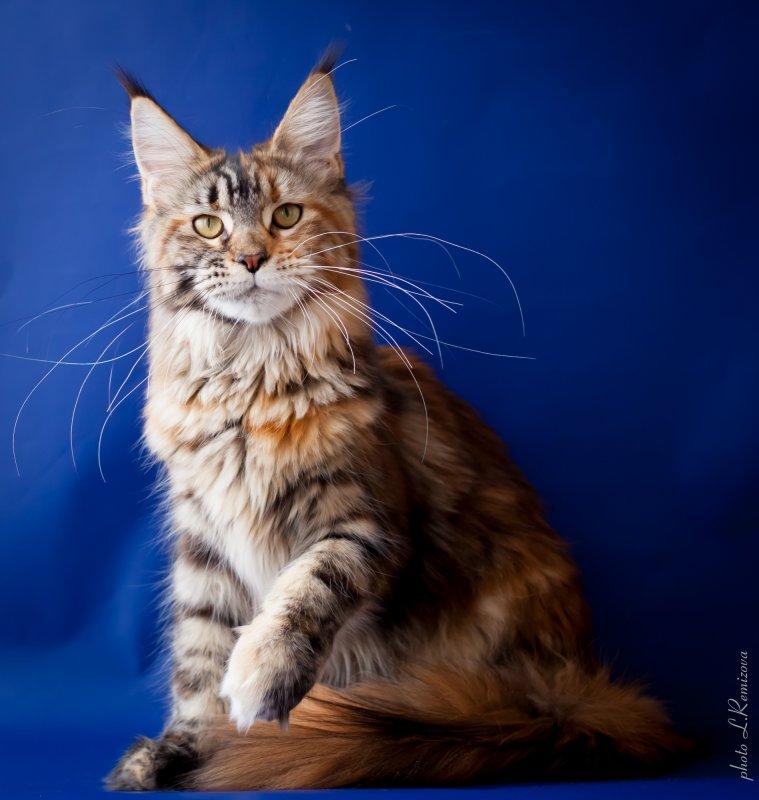 купить кошку мейн-кун в питомнике