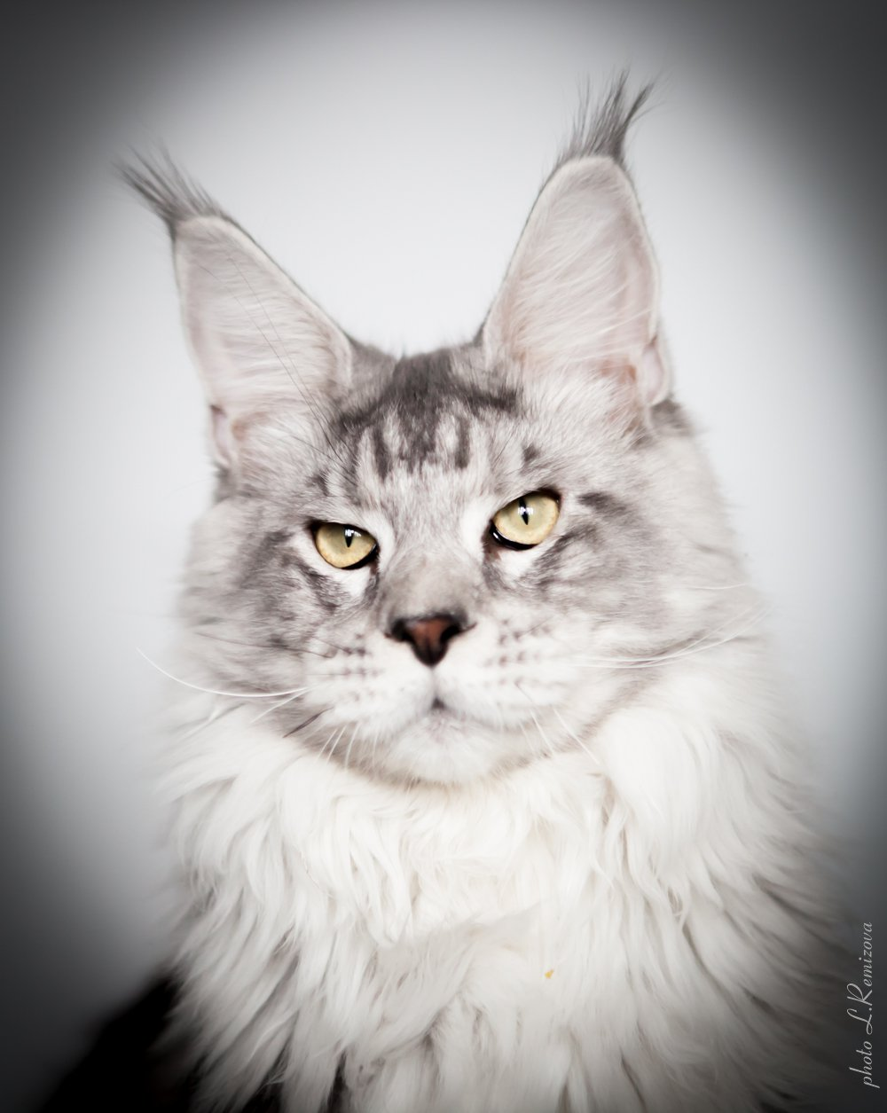 купить кота мейн-кун