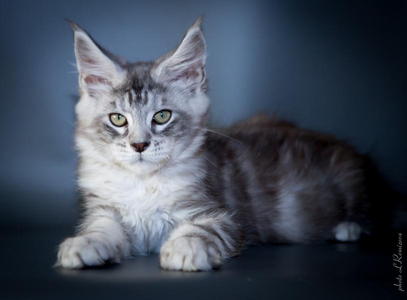серебристый кот мейн-кун Castiel (Кастиэль)