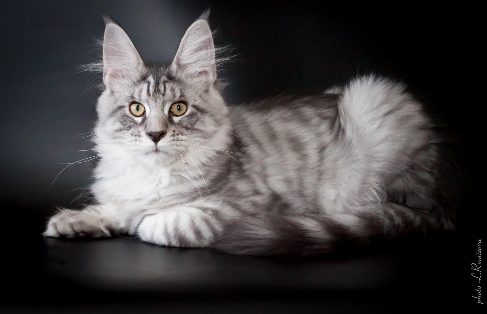 фото котят мейн-кунов
