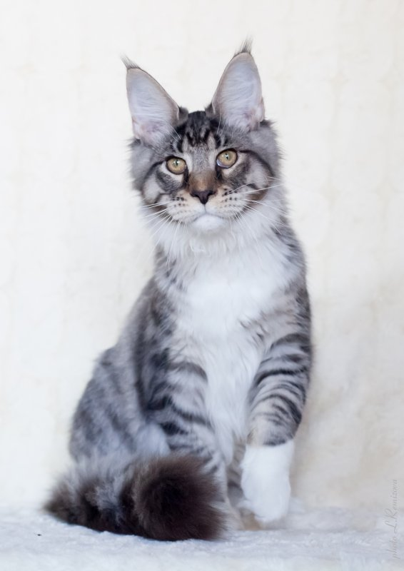 Серебряный кот мейн-кун